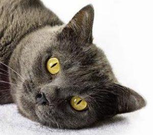 Cuddles the grey cat